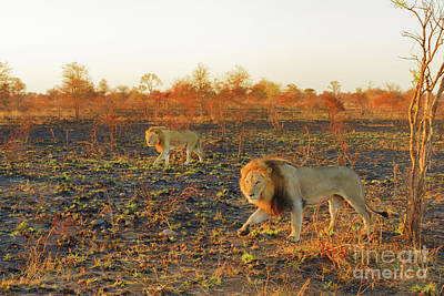 Photograph - Two Adult Lions Walking by Benny Marty