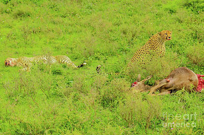 Photograph - Two Cheetah After Hunting by Benny Marty