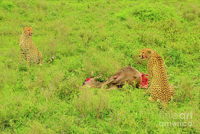 Photograph - Two Cheetah Eats Gnu by Benny Marty