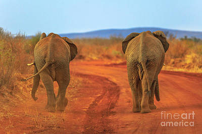 Photograph - Two Elephant On Red Desert by Benny Marty