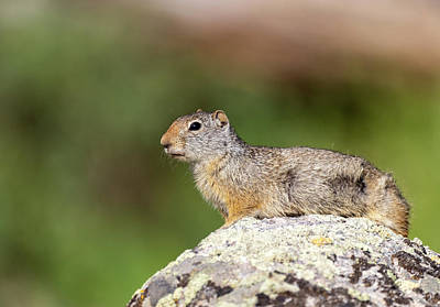 Photograph - Uinta Ground Squirrel by Michael Chatt