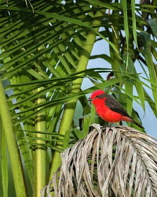 Photograph - Vermilion Flycatcher La Huerta Hotel Lago Calima Valle Del Cauca by Adam Rainoff