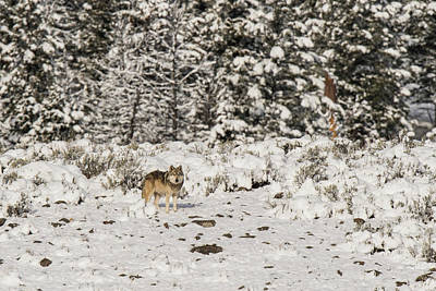 Photograph - W20 by Joshua Able's Wildlife