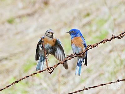 Photograph - Western Bluebird Flirting by Mike Dawson