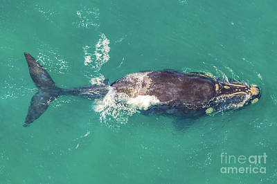 Photograph - Whale South Africa by Benny Marty