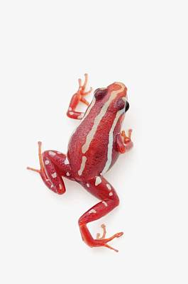 Photograph - White-striped Poison Dart Frog by Design Pics / Corey Hochachka
