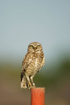 Burrowing Owl Wall Art - Photograph - Wild Burrowing Owl Endangered Athene by Ron Erwin