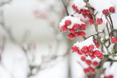 Photograph - Winter Crabapples by Joni Eskridge
