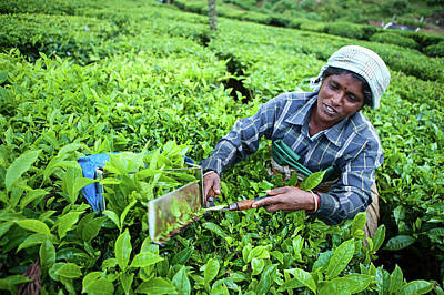 Indian Culture Photograph - Woman Harvesting Tea Leaves by Hadynyah