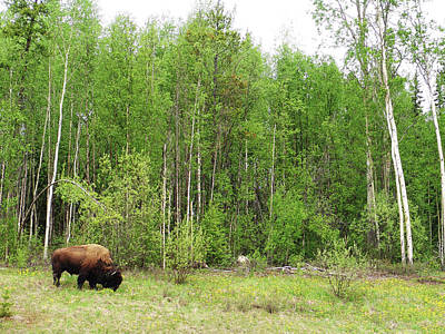 Bicycle Patents - Wood Bison Alaska Highway Yukon Canada 2008053002154 by Robert Braley