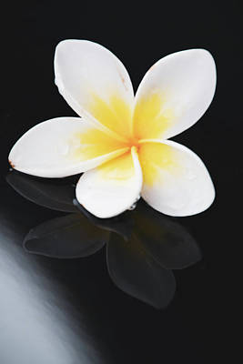 Photograph - Yellow And White Frangipani And Reflection by Merrillie Redden