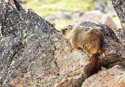 Photograph - Yellow Bellied Marmot by Michael Chatt