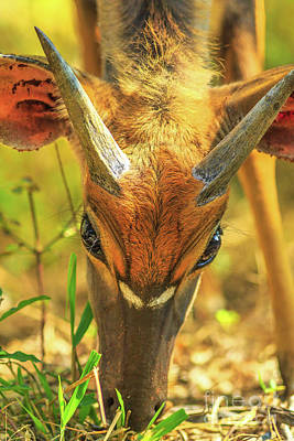 Photograph - Young Nyala Male by Benny Marty