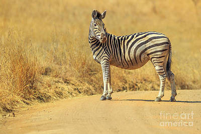 Photograph - Zebra In Madikwe by Benny Marty