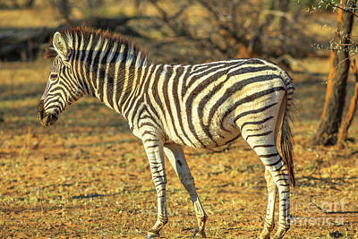 Photograph - Zebra Standing Outdoor by Benny Marty