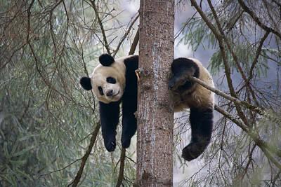 Photograph - China, Sichuan Province, Wolong, Giant by Keren Su