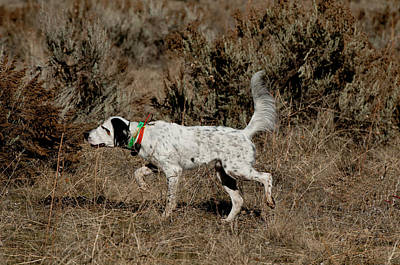Photograph - English Setter On Point by William Mullins
