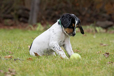 Photograph - English Setter Puppy, 8 Weeks by William Mullins