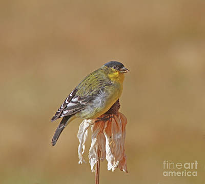 Wall Art - Photograph - Lesser Goldfinch by Gary Wing