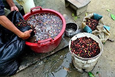 Movies Star Paintings - Washing coffee - Peru by Carlos Mora