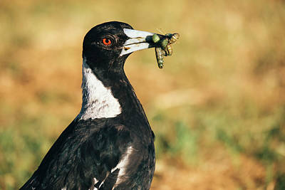 Photograph - Australian Magpie Outdoors by Rob D