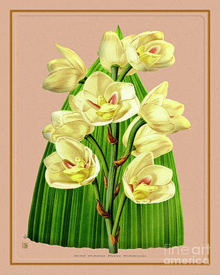 Caravaggio - Orchid Flower Orchideae Plantae Flora by Baptiste Posters