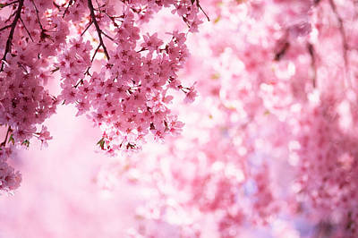 Branch Photograph - Pink Cherry Blossoms by Ooyoo