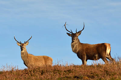Photograph - Red Deer Stags by Gavin MacRae