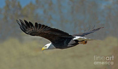 Wall Art - Photograph - Bald Eagle by Gary Wing