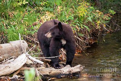 Photograph - 1476 Teton Black Bear by Steve Sturgill