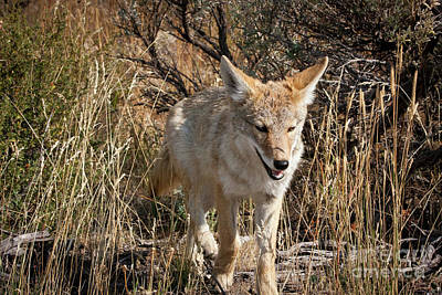 Photograph - 1481 Grand Teton Coyote by Steve Sturgill