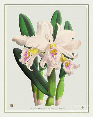 Comic Character Paintings - Orchid Vintage Print on Tinted Paperboard by Baptiste Posters