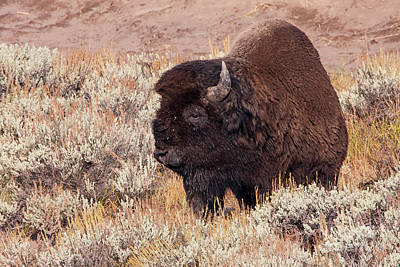 Photograph - 1500 Yellowstone Bison by Steve Sturgill