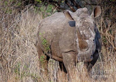 Photograph - 1550 White Rhino by Steve Sturgill
