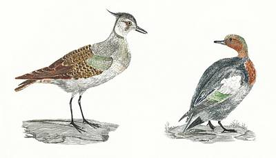 Whats Your Sign - A Lapwing and a Duck by Johan Teyler  1648-1709  by Celestial Images