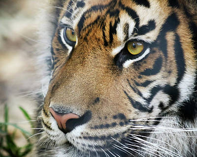 Animals Royalty-Free and Rights-Managed Images - A Portrait of a Bengal Tiger in the Forest by Derrick Neill