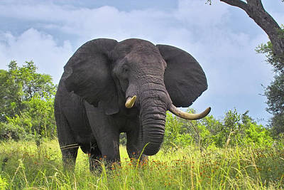 Photograph - African Elephant by Arno Meintjes Wildlife