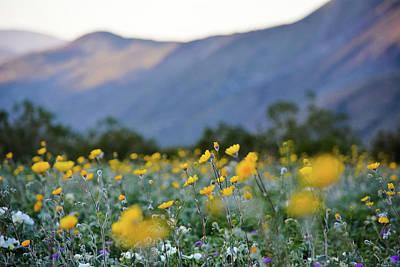 Photograph - Anza Borrego Wildflower Sunset by Kyle Hanson