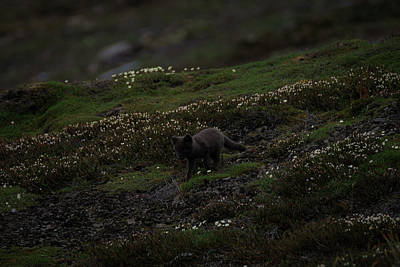 Photograph - Arctic Fox by Kai Mueller