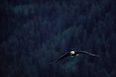 Eagle Photograph - Bald Eagle Haliaeetus Leucocephalus In by Art Wolfe