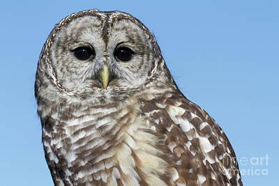 Photograph - Barred Owl 2 by Chris Scroggins