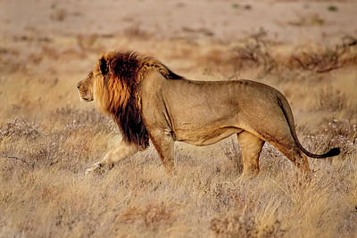 Photograph - A Lion Of The Kalahari Walking by Kay Brewer