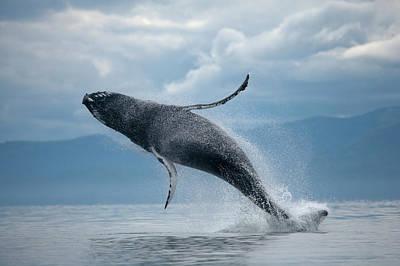 Photograph - Breaching Humpback Whale, Alaska by Paul Souders