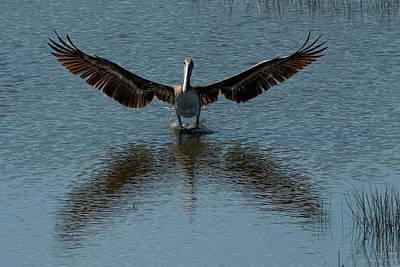 Pop Art - Brown pelican landing and taking off looking for fish by Dan Friend