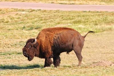 Modern Feathers Art - Buffalo at Custer State Park  by Susan Jensen