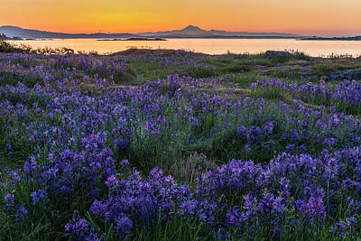 Photograph - Camas At Sunrise, Cattle Point, Uplands by Michael Wheatley