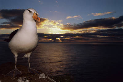 Photograph - Campbell Albatross Thalassarche by Tui De Roy/ Minden Pictures