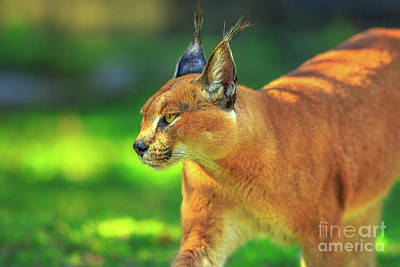 Photograph - Caracal African Lynx by Benny Marty