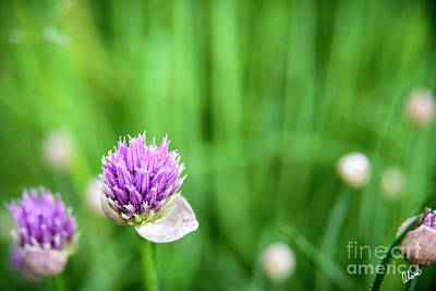 Photograph - Chives by Alana Ranney
