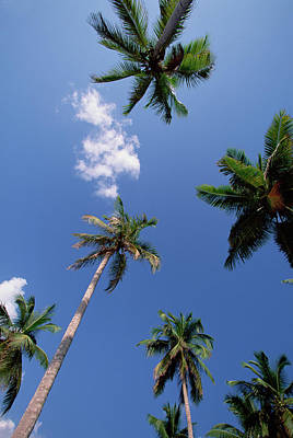 Photograph - Coconut Palm Cocos Nucifera Trees And by Konrad Wothe/ Minden Pictures
